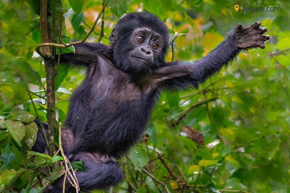 gorilla trekking d