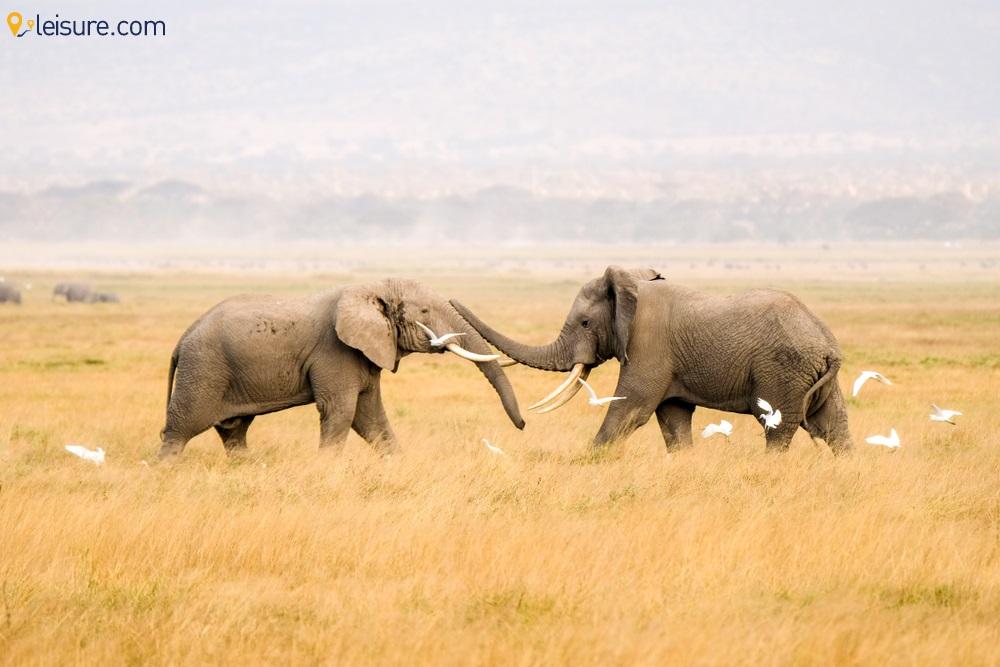 safari o