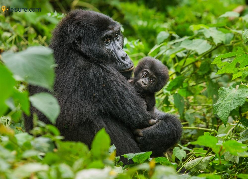 A short Trip to Uganda - Gorilla Trekking Done in 3 Days