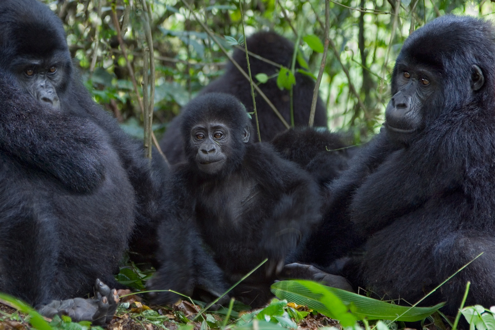 Here's How to Plan A 10-day Ultimate Gorilla Trekking in Uganda