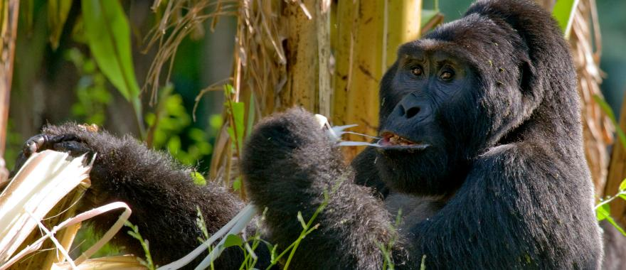A Thrilling Experience with Mountain Gorillas