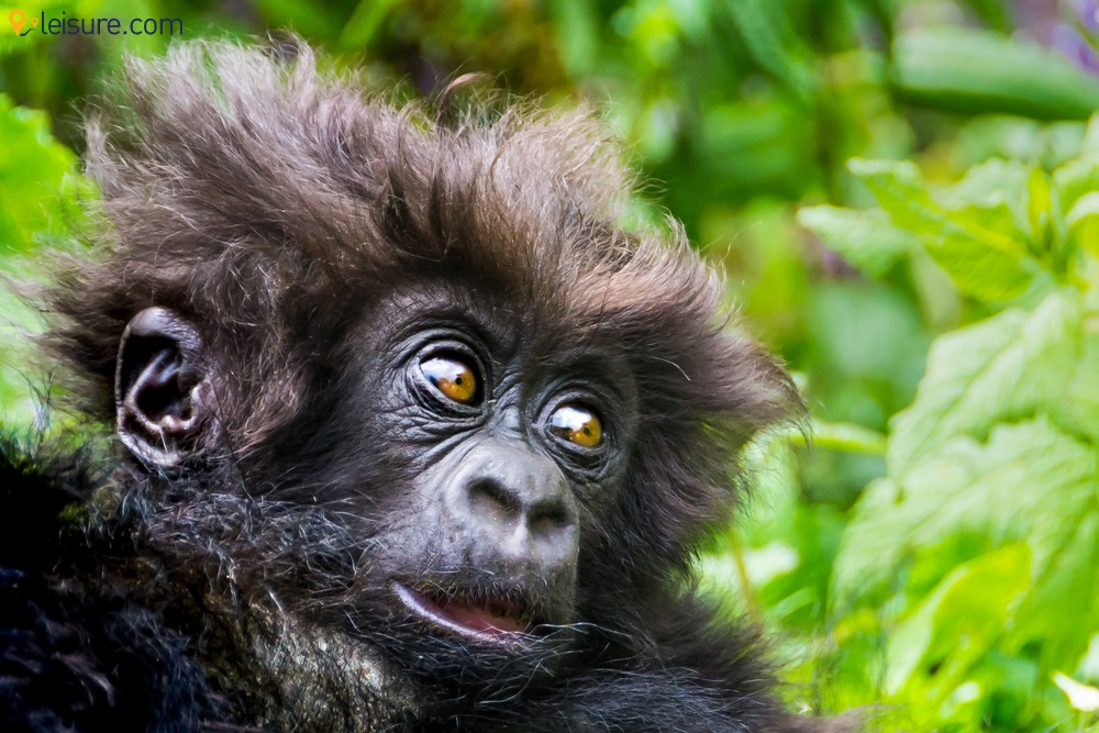 An 8-day Rwanda Safari Tour Package: Gorillas and Chimpanzees