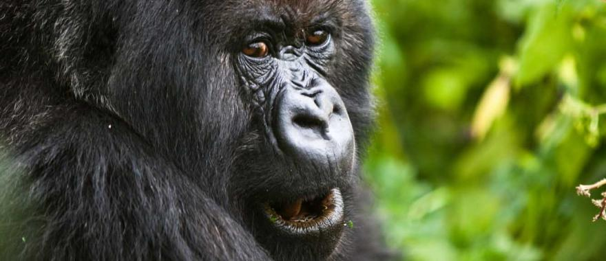 Adventurous Trip with Gorillas and Chimps in Uganda