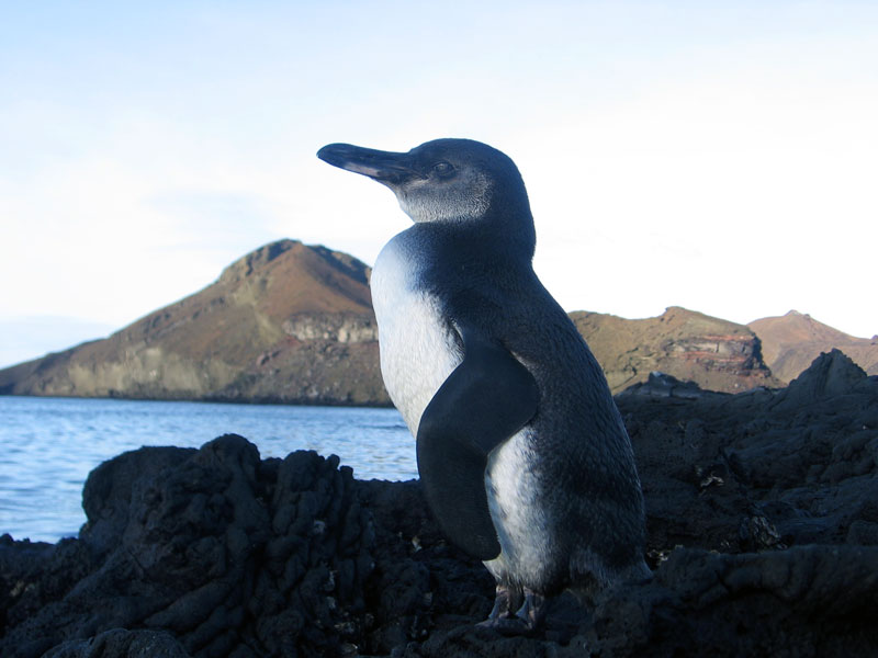Galapagos penguins on Bartolomu00e9