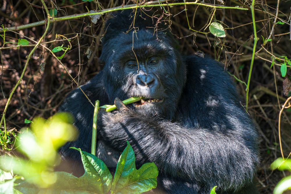 Enjoy Gorilla Trekking via 8-Day Uganda Safari Tour
