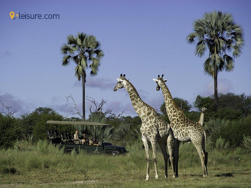 Ziraf african safari