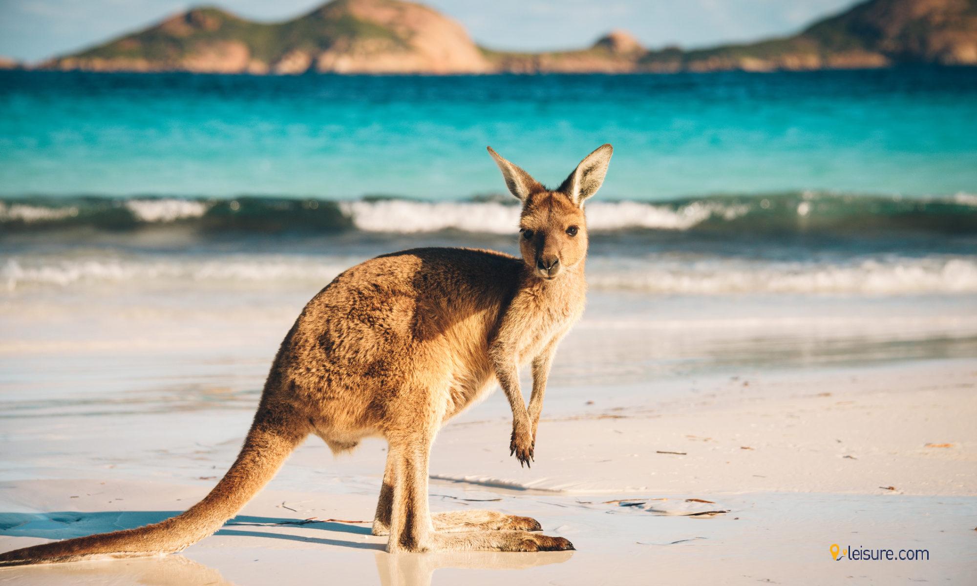 Australia kangaroo pics